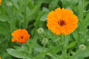 Calendula_officinalis-830x551