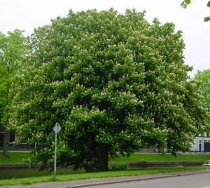 horse-chestnut-tree-4